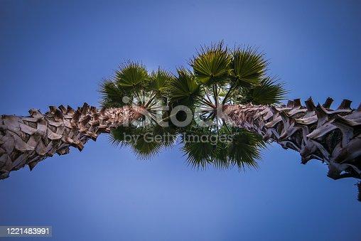 pine cones on the tree