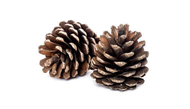 Conos de pino sobre fondo blanco - foto de stock