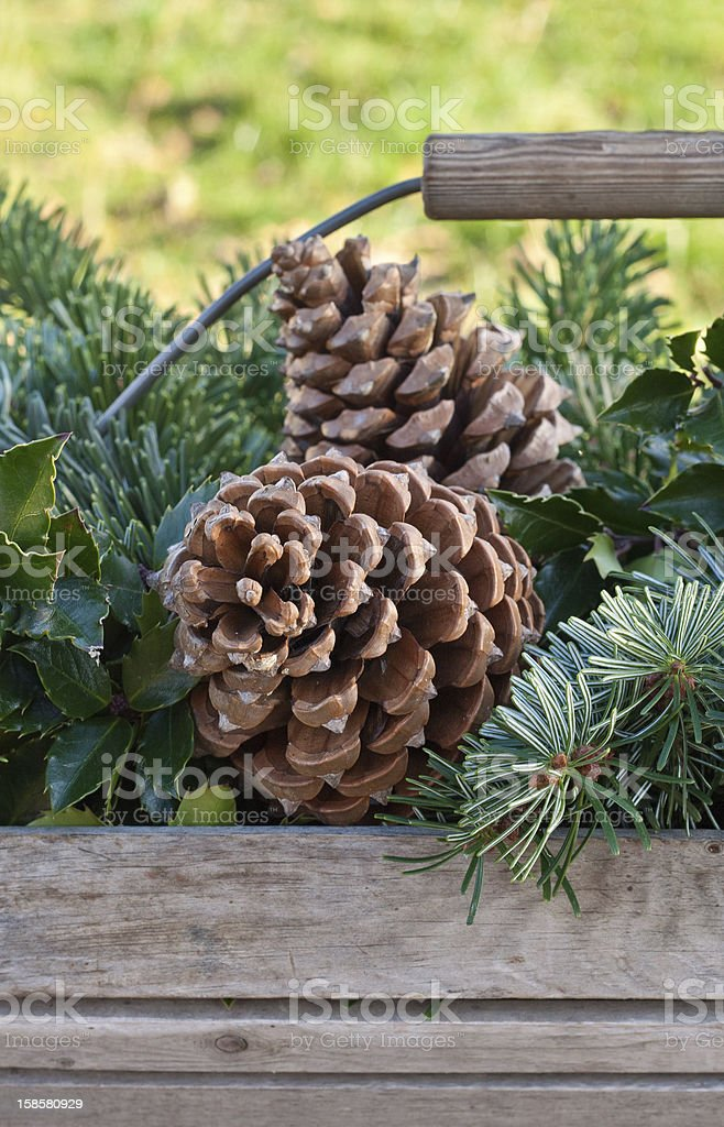 pine cones royalty-free stock photo