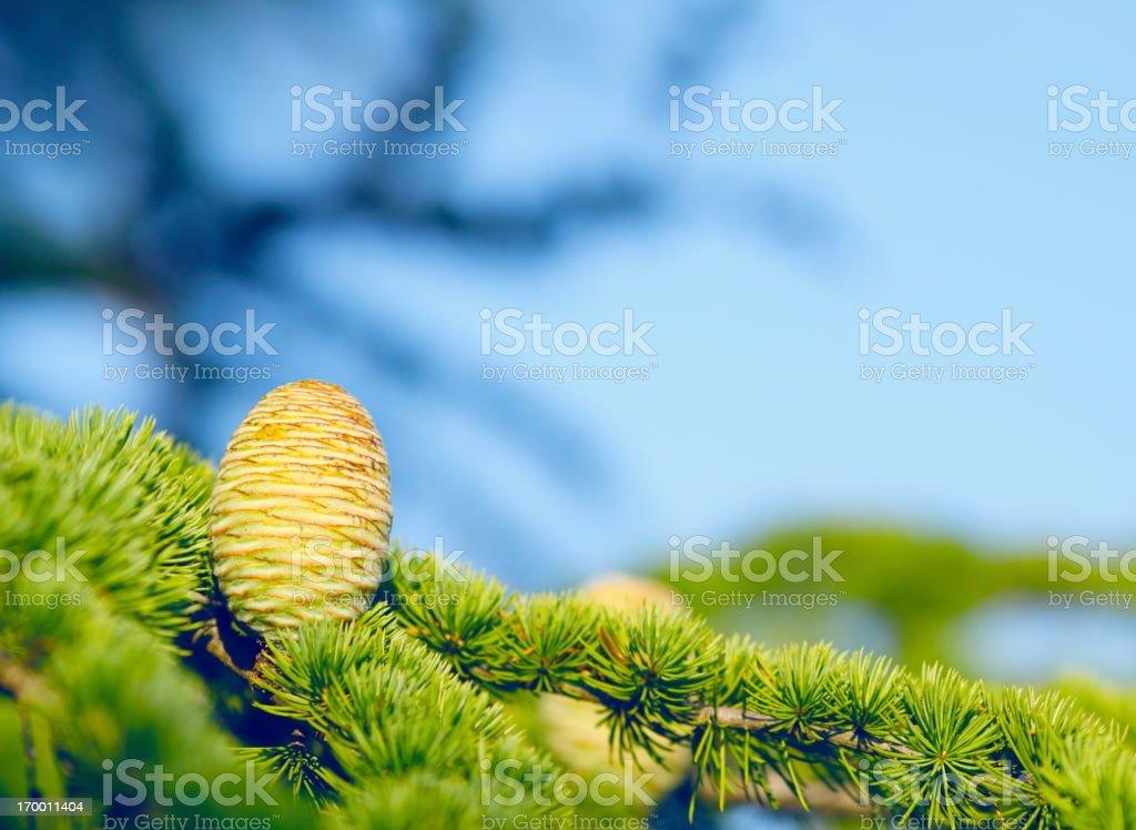 Pine Cones royalty-free stock photo