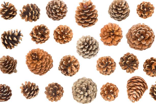 Conos de pino - foto de stock