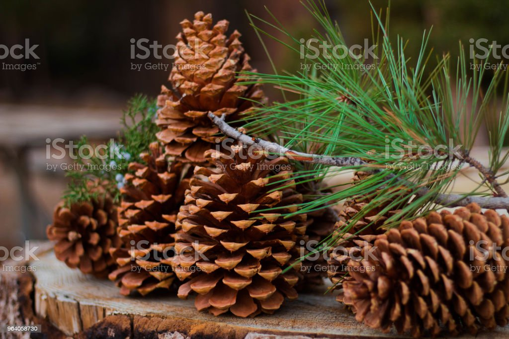 Pine cones - Royalty-free Forest Stock Photo