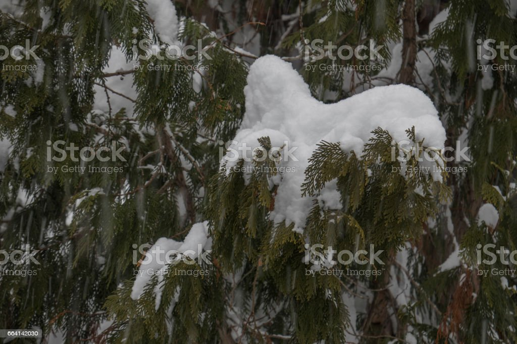 Pine covered with snow foto stock royalty-free