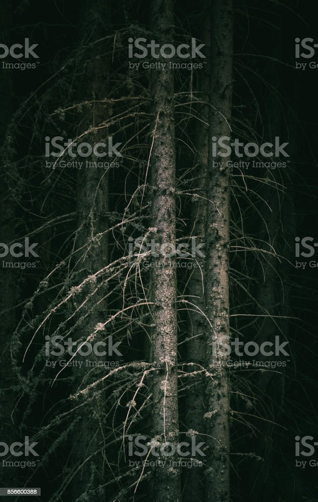 Pine dark night creepy forest boondocks. stock photo