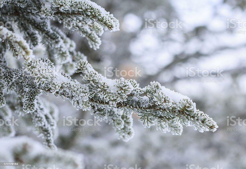 Pine Detail stock photo