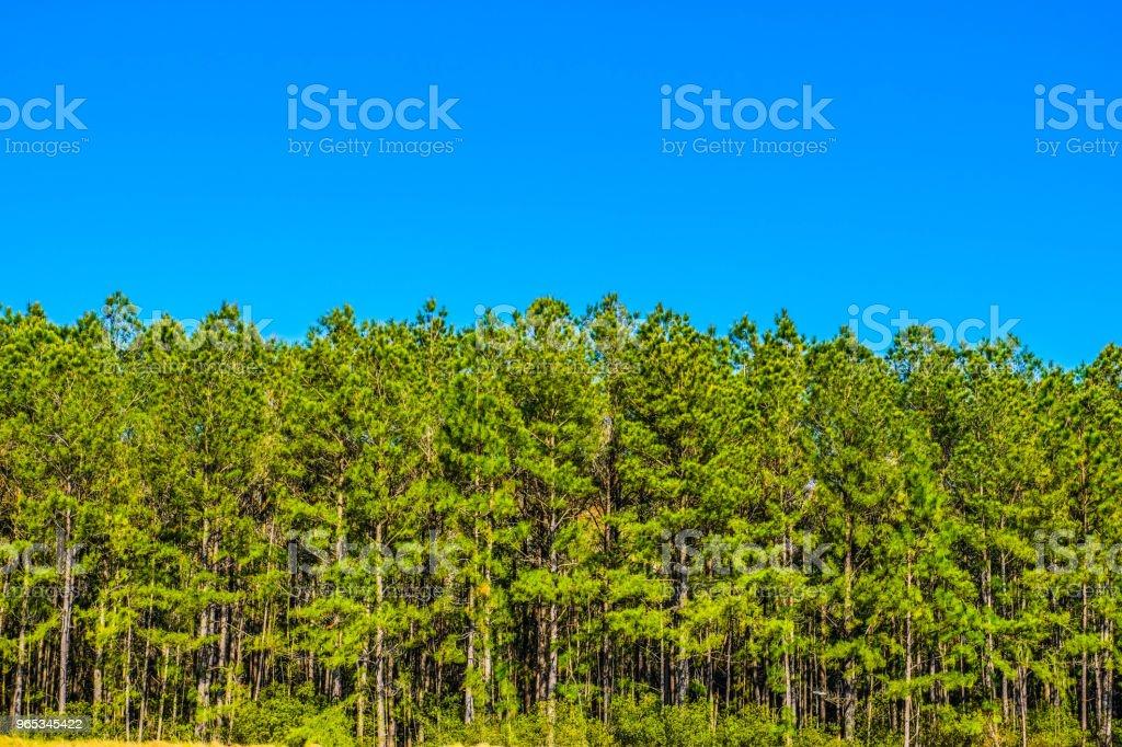 Pine Forest 1 zbiór zdjęć royalty-free