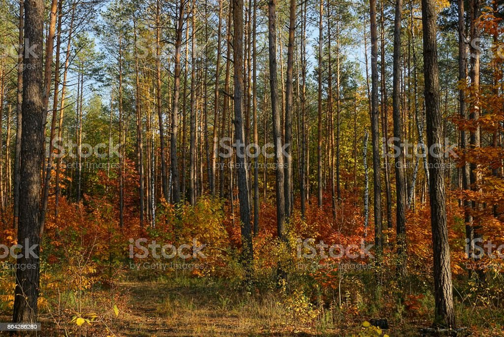 Pine forest and colorful bushes in dry grass royalty-free stock photo