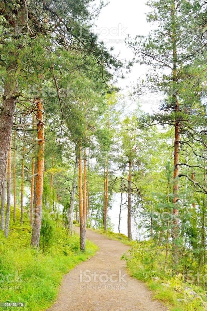 Pine forest at summer. stock photo
