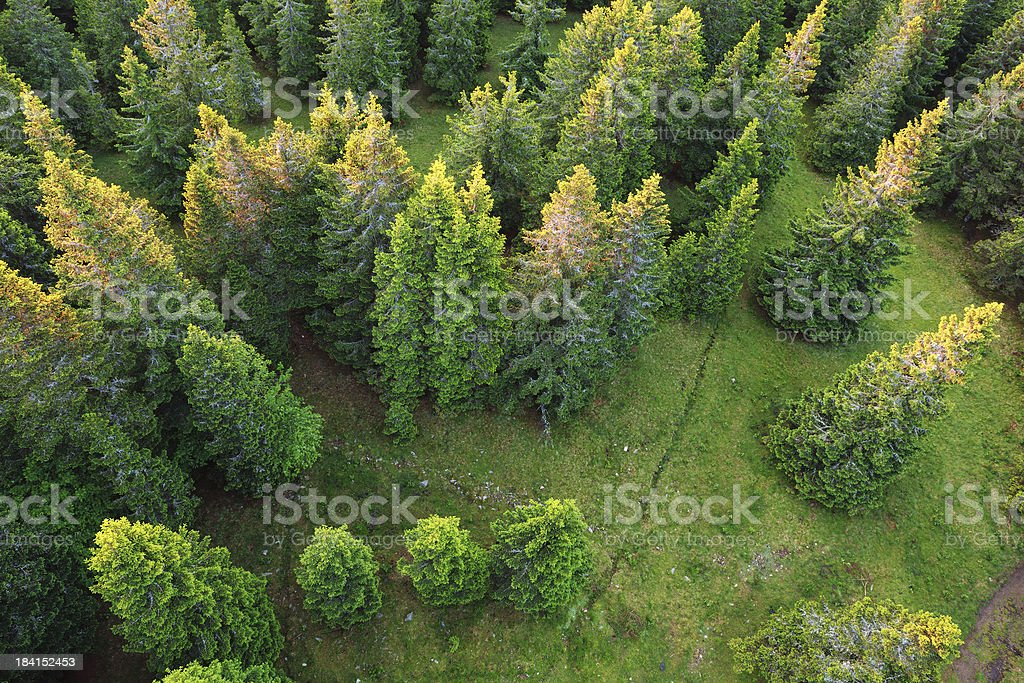 Pine Forest At Sunrise royalty-free stock photo