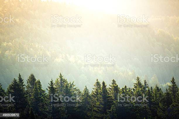 Photo of Pine Forest At Sunrise