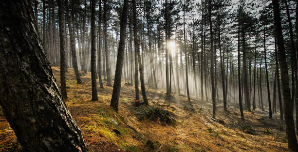 Pine forest at sunrise - foto stock