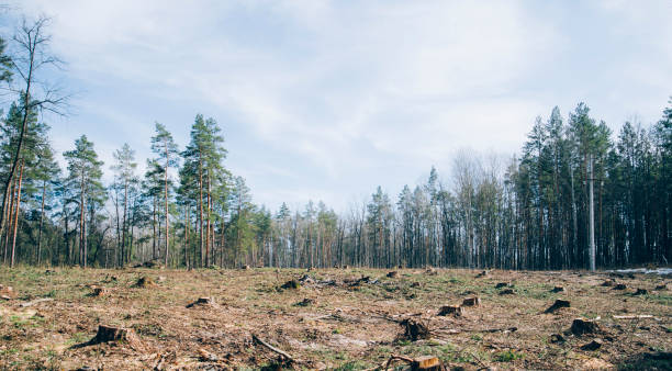 Pine forest being cut down turning into a dry lifeless field Pine forest being cut down turning into a dry lifeless field deforestation stock pictures, royalty-free photos & images