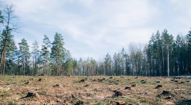 bosque de pino están talando con convertirse en un campo seco sin vida - deforestacion fotografías e imágenes de stock