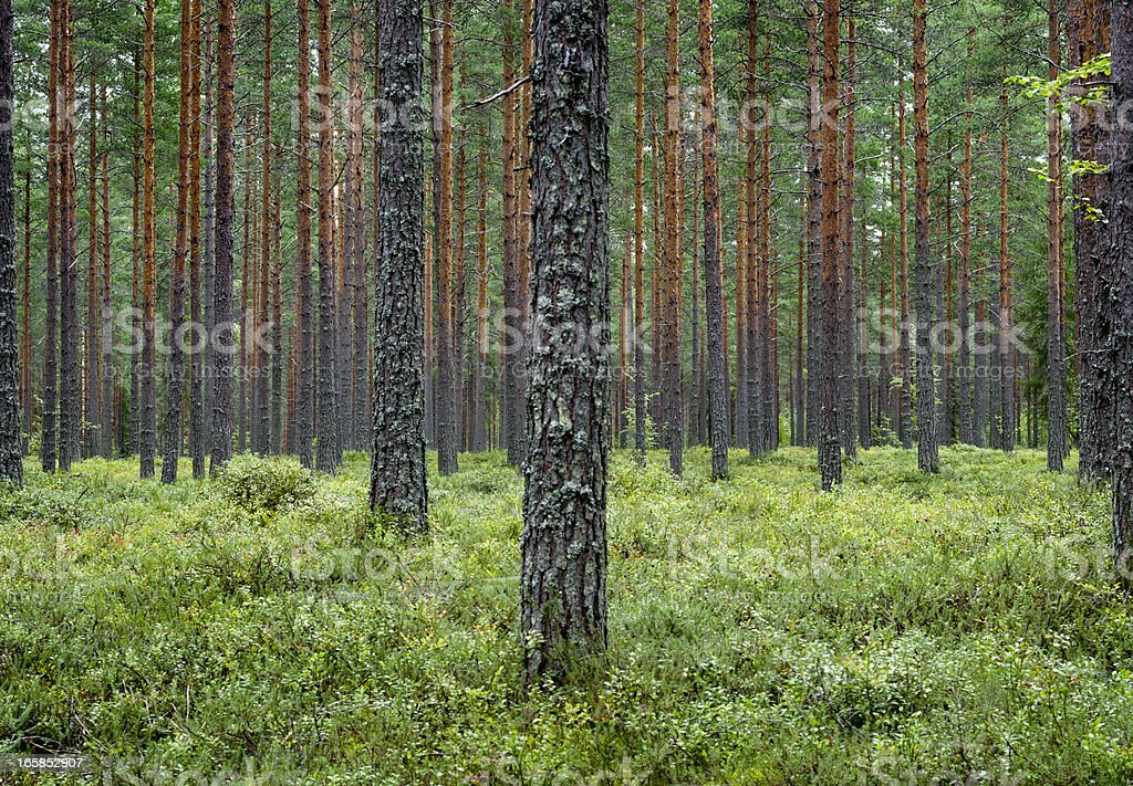 Pine forest Finland Scandinavia royalty-free stock photo