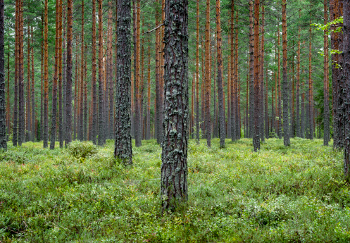 Typical forest in central Finland with lots of pine trees and blueberries. Shot in August.