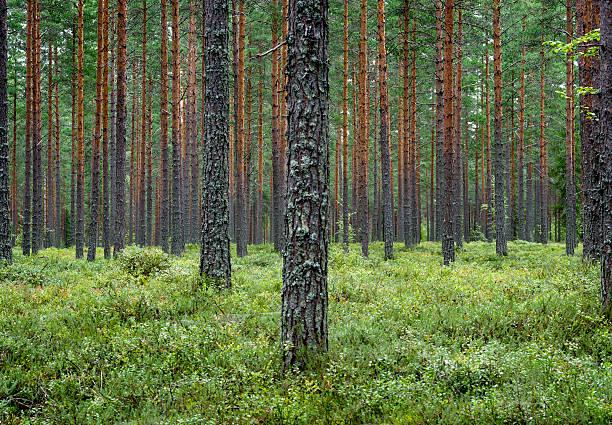 Pine forest Finland Scandinavia stock photo