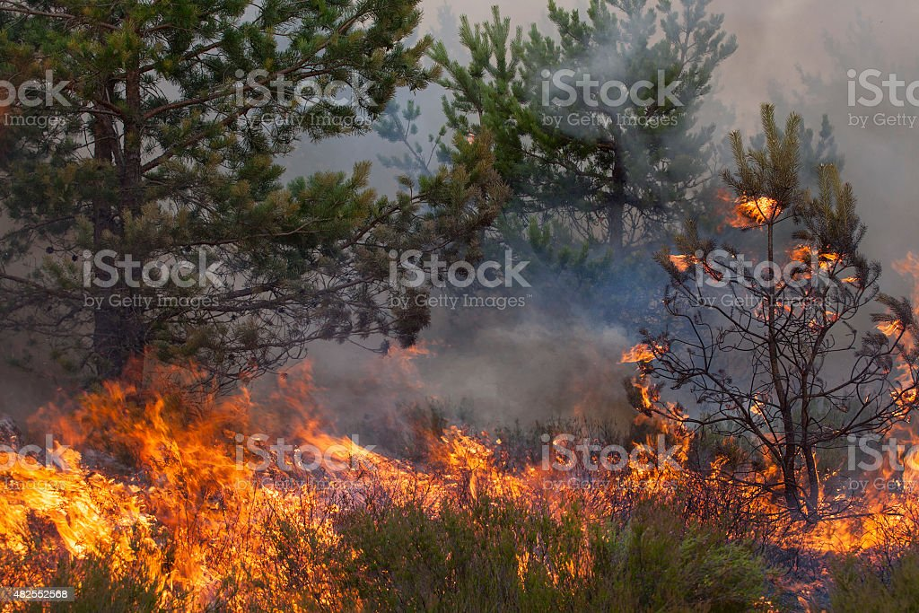 Pine forest fire stock photo