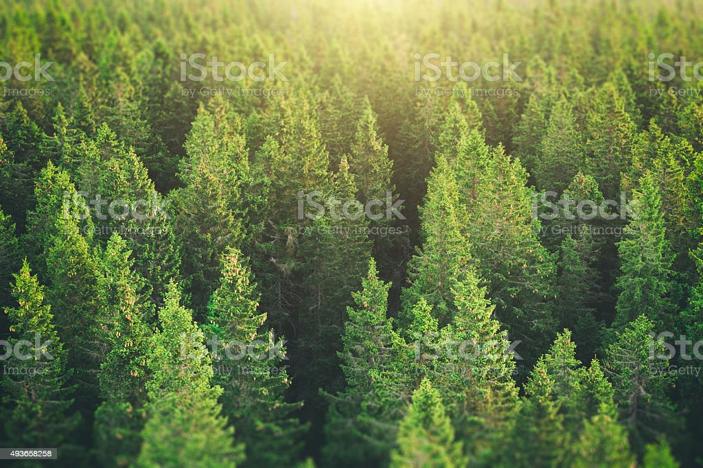 Pine Forest From Above stock photo