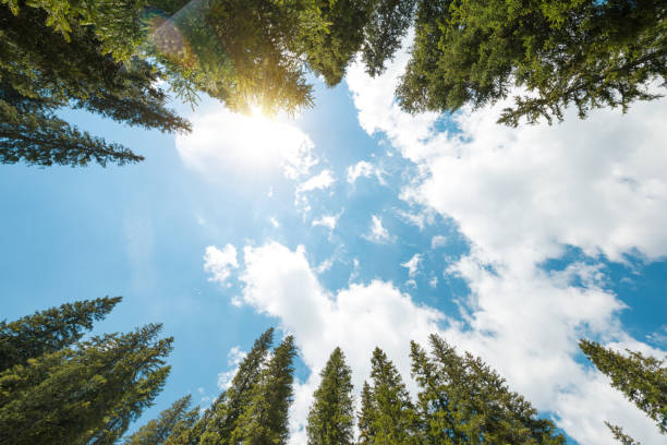 Pine Forest From Below Pine trees from below on a beautiful sunny day. directly below stock pictures, royalty-free photos & images