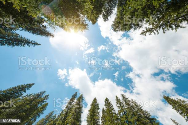 Photo of Pine Forest From Below