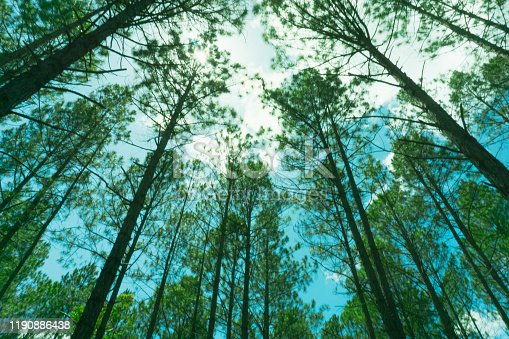 Pine forest from low angle view converging skyward overhead retro effect.