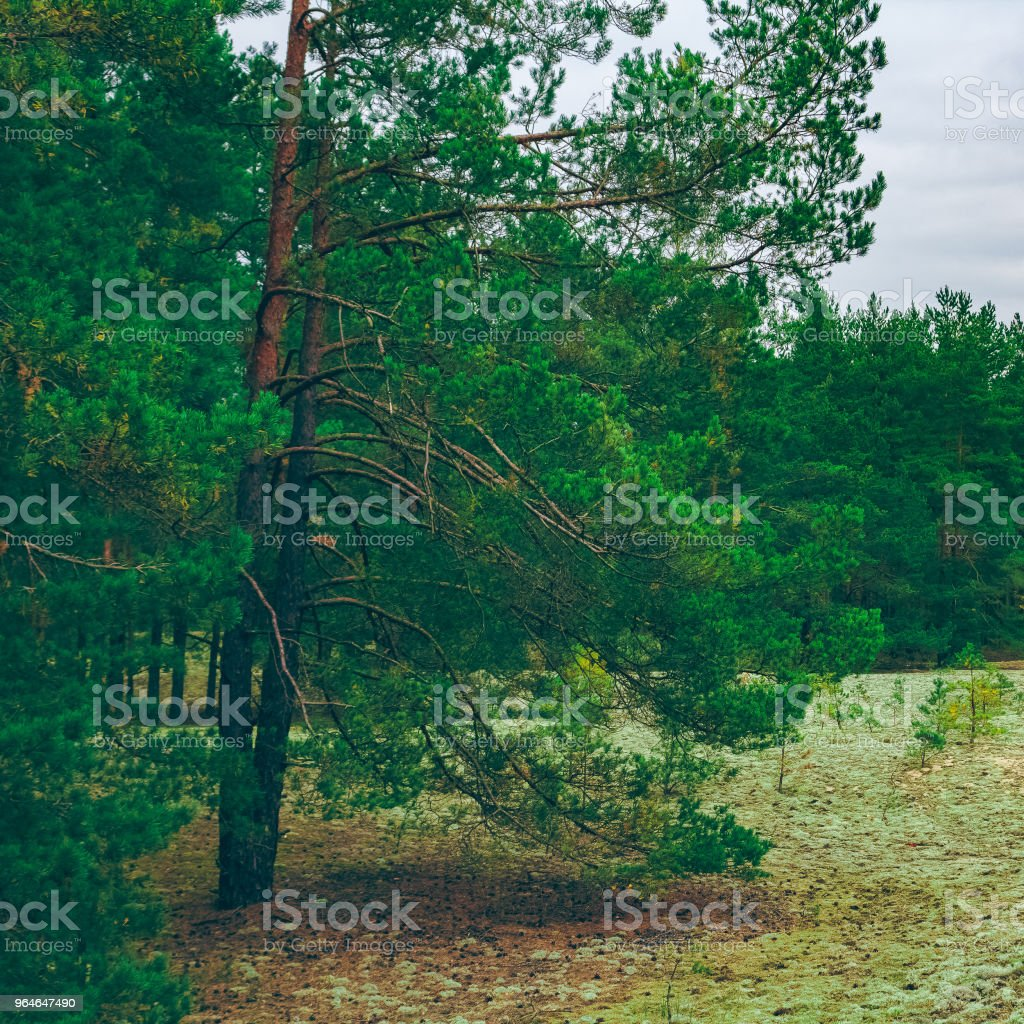 Pine forest green landscape royalty-free stock photo