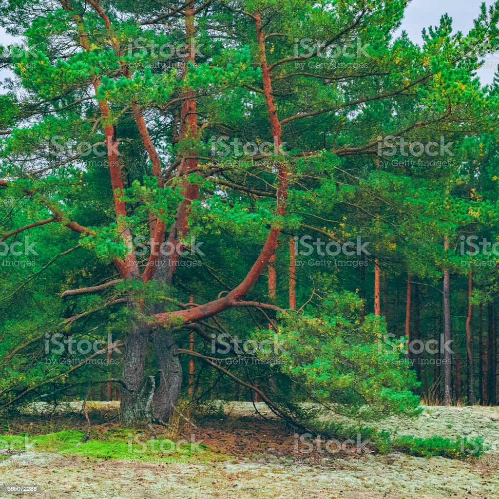 Pine forest green landscape zbiór zdjęć royalty-free