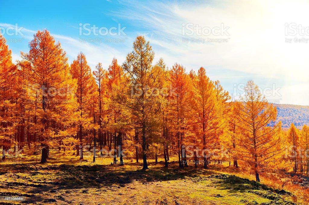 Bosque de pinos, en otoño - foto de stock