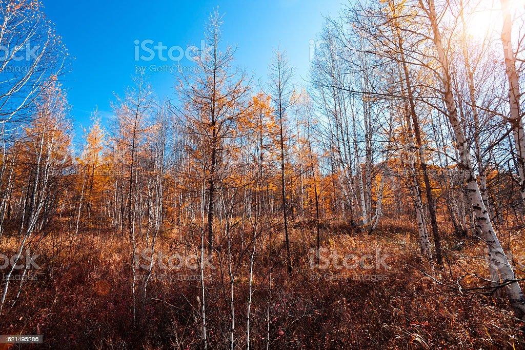 Forêt de pins en automne photo libre de droits