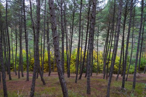 Pine Forest in Autumn - Pinar en Otoño