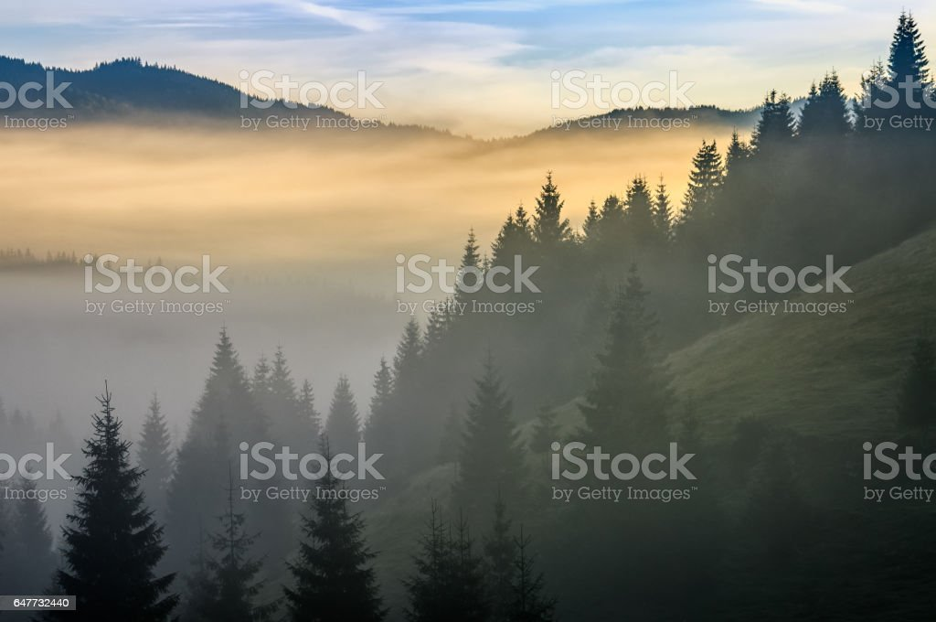 pine forest in fog at sunrise stock photo