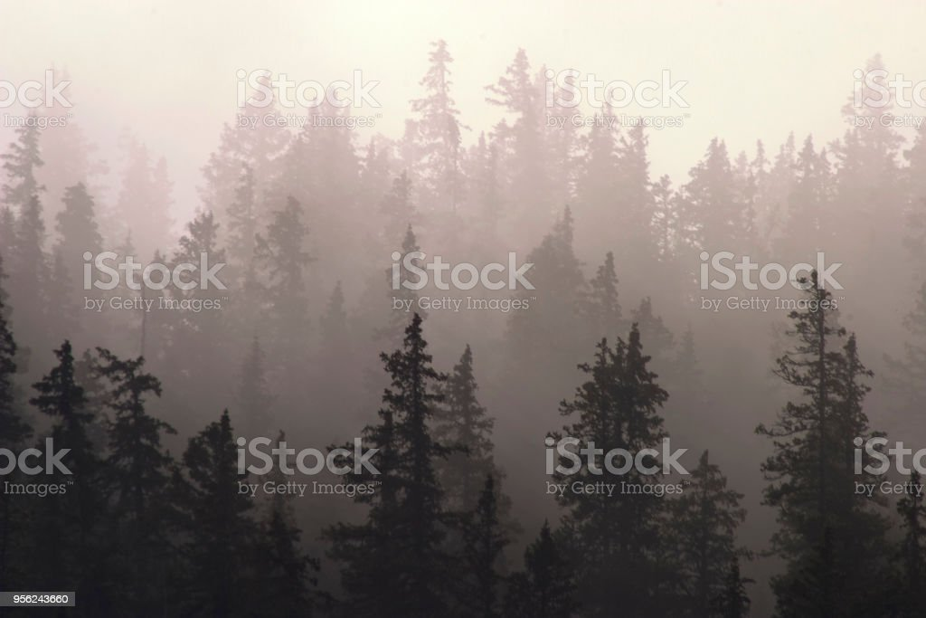 pine forest in fog stock photo