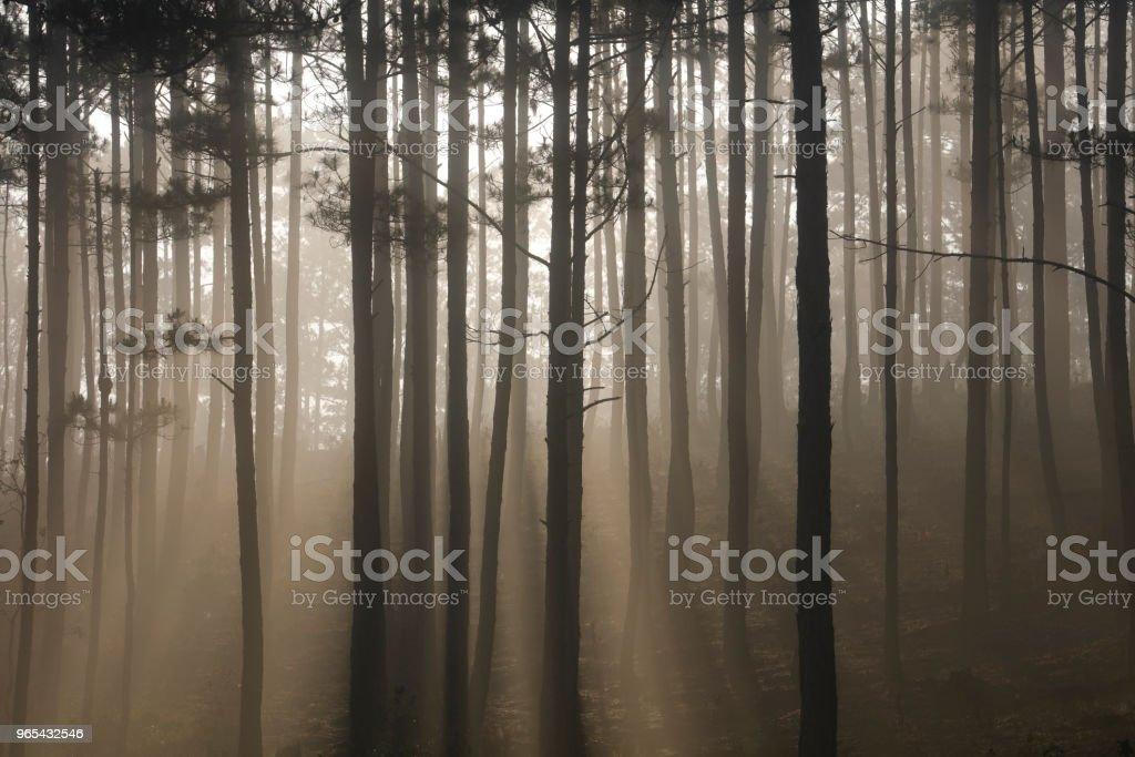 안개에 소나무 숲 - 로열티 프리 0명 스톡 사진
