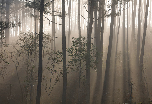 안개에 소나무 숲 0명에 대한 스톡 사진 및 기타 이미지