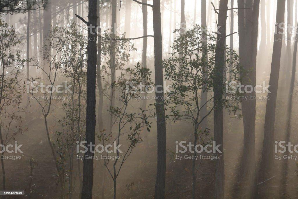 Pine forest in mist zbiór zdjęć royalty-free