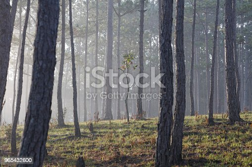 Pine Forest In Mist Stock Photo & More Pictures of Autumn