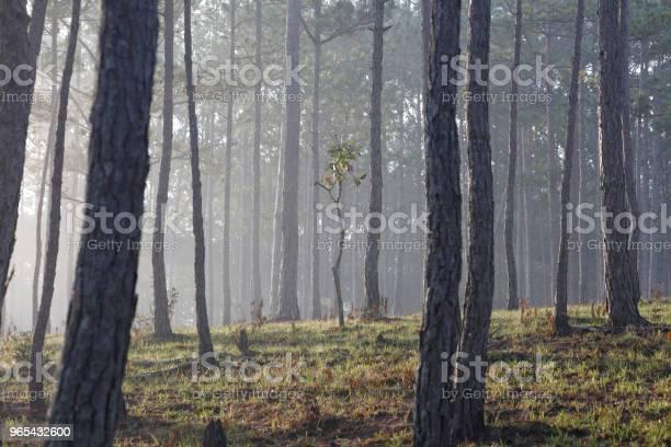 Foto de Floresta De Pinheiros Na Névoa e mais fotos de stock de Beleza