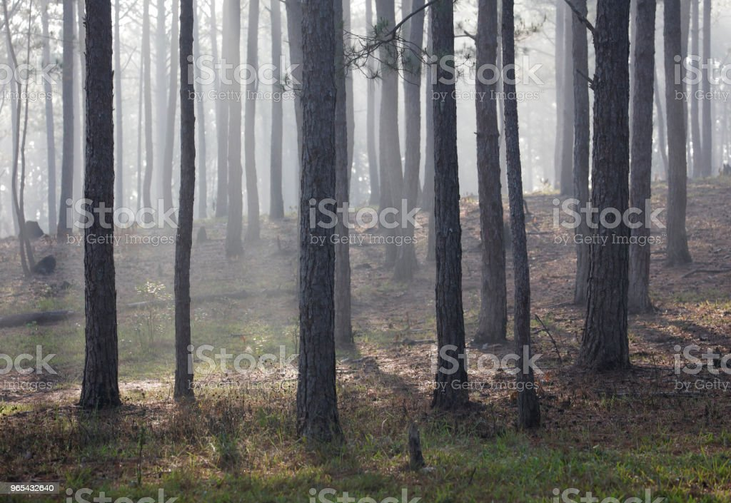 Pine forest in mist royalty-free stock photo