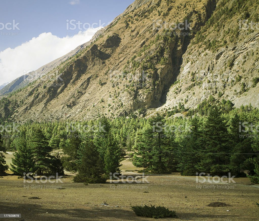 Pine forest in Nepal. royalty-free stock photo