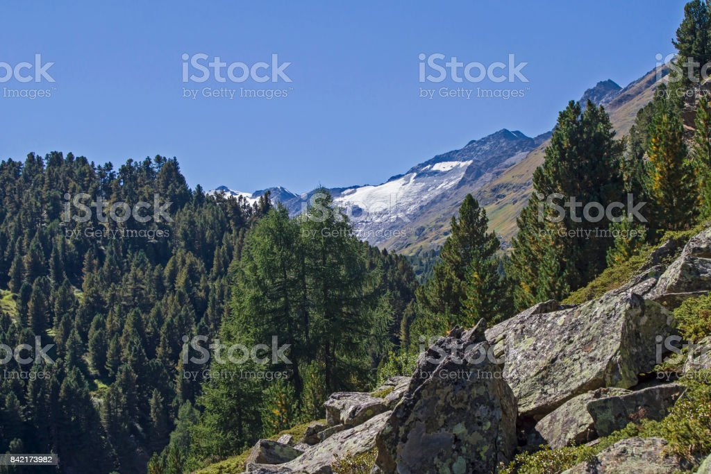 pine forest in Oetztal valley stock photo