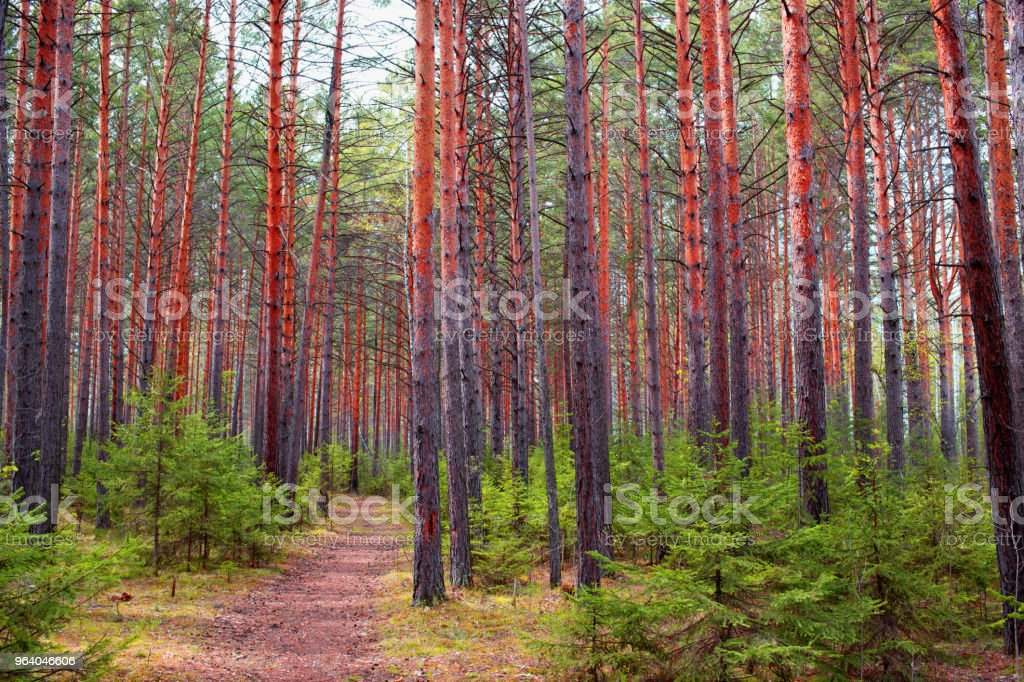 pine forest in Siberia - Royalty-free Autumn Leaf Color Stock Photo