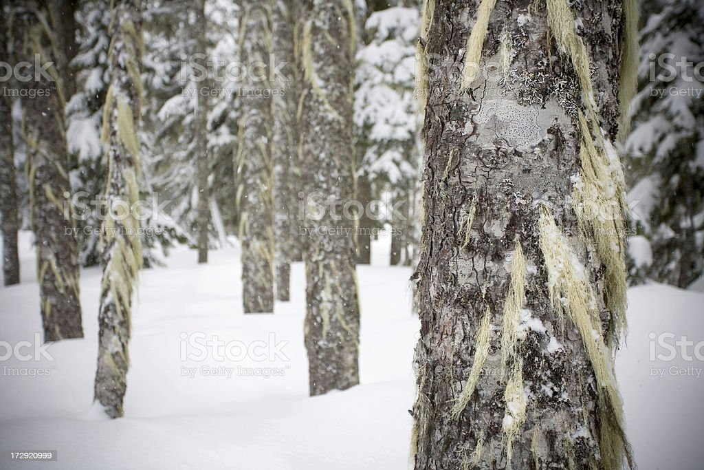 Pine forest in snow. Mt Hood, Oregon royalty-free stock photo