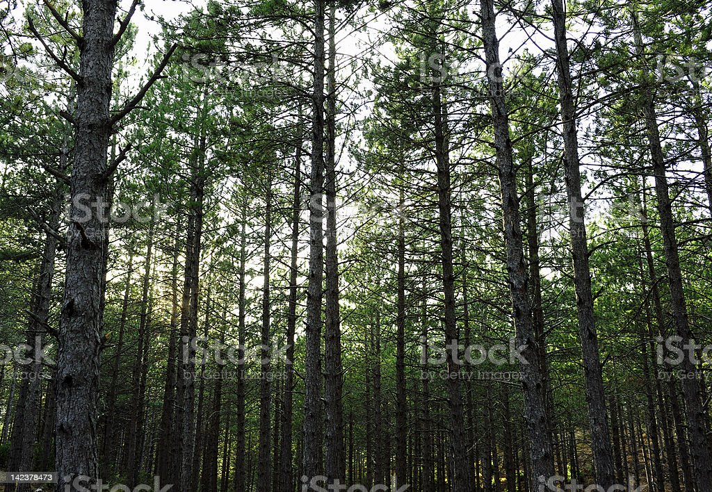 Pine forest in Spain stock photo
