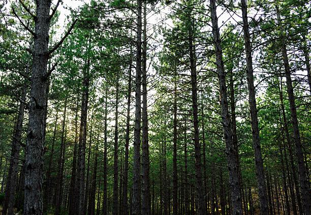 pine forest in spain - fur bildbanksfoton och bilder