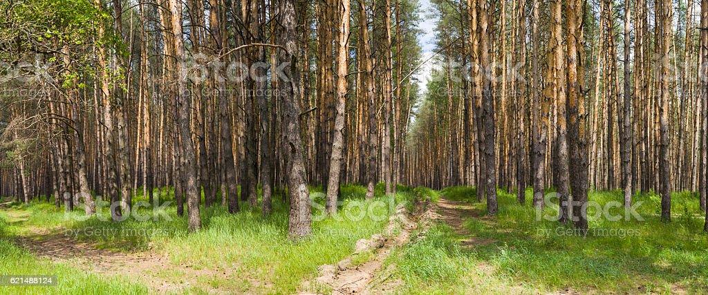 Pine forest in summer day. Panorama. Lizenzfreies stock-foto
