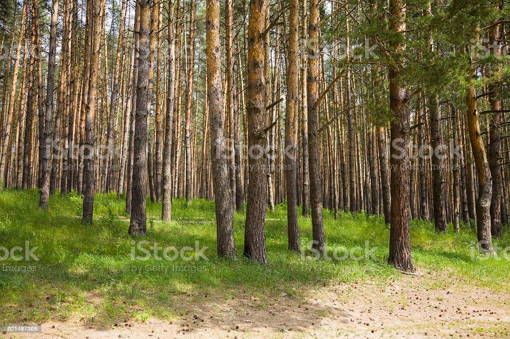 Pine forest in summer day Lizenzfreies stock-foto