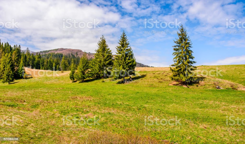 pine forest in summer landscape royalty-free stock photo