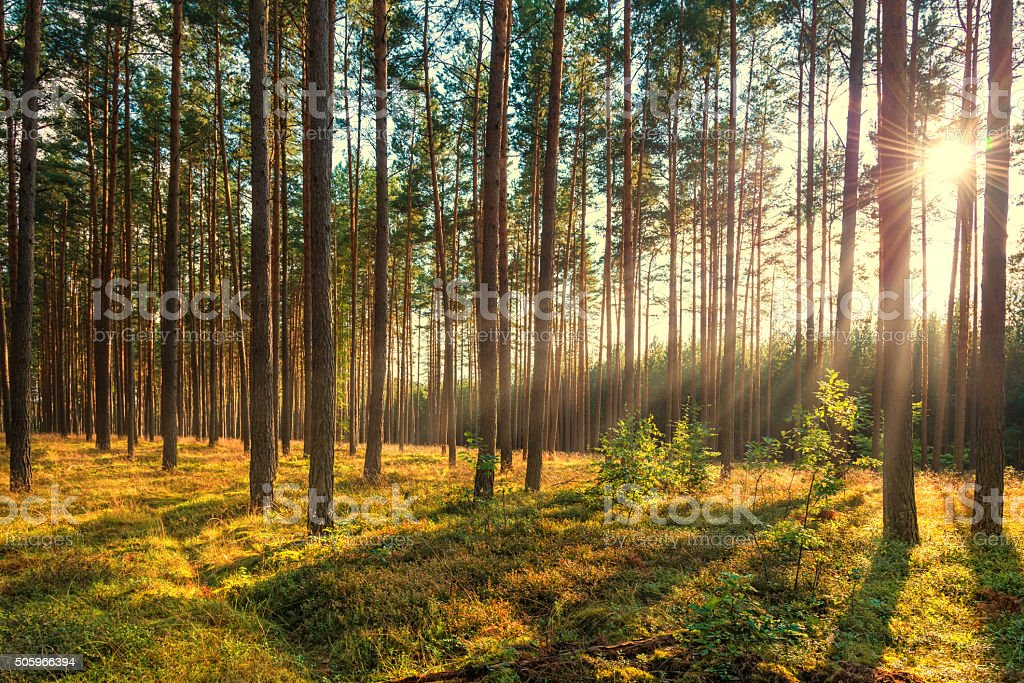 pine forest in sunlight at summer - sunset with rays stock photo