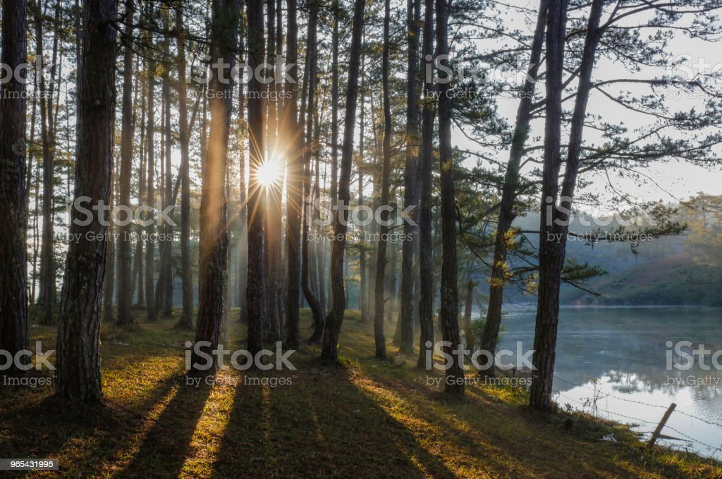 Pine forest in sunlight zbiór zdjęć royalty-free