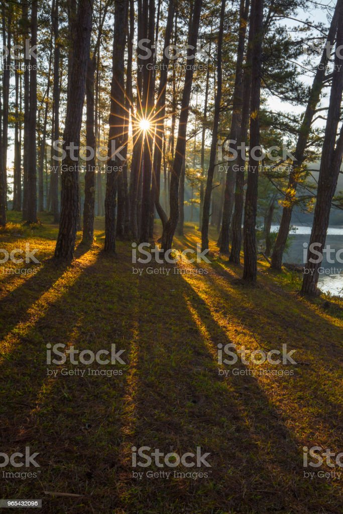 Pine forest in sunlight royalty-free stock photo